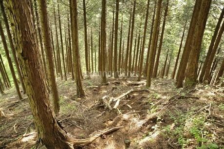 白馬尾根 朝日の木漏れ日の写真素材 [FYI03154531]