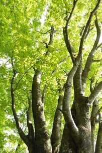 新緑に萌えるカエデの写真素材 [FYI03154533]