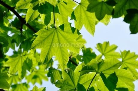イロハモミジの葉の写真素材 [FYI03154535]