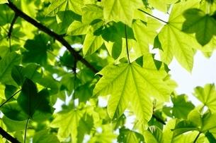 イロハモミジの葉の写真素材 [FYI03154544]