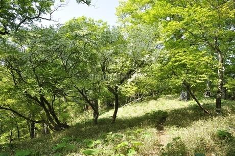 白馬尾根に咲く満開のシロヤシオの写真素材 [FYI03154572]