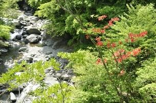 春の早戸川に咲くレンゲツツジの写真素材 [FYI03154776]