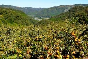 山間の富有柿の写真素材 [FYI03154936]