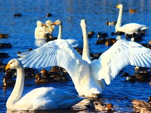 白鳥たちの群れの写真素材 [FYI03155006]