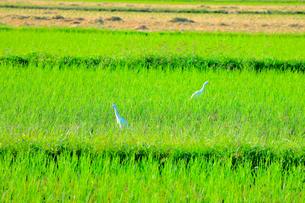 白鷺の写真素材 [FYI03155015]