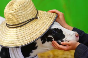 帽子をかぶった子牛の写真素材 [FYI03155091]