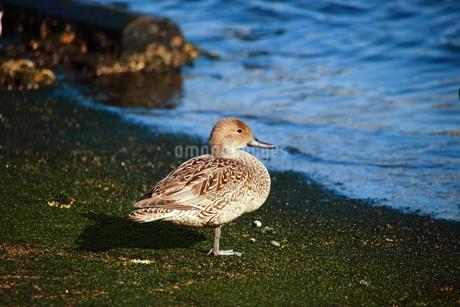 海辺のカモの写真素材 [FYI03155306]