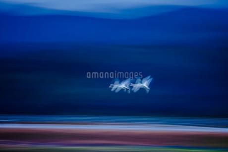 白鳥ロード 日本 島根県 安来市の写真素材 [FYI03155387]