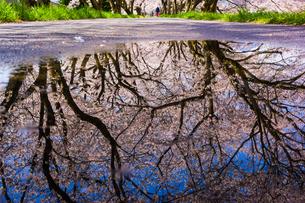 法勝寺川土手桜並木 日本 鳥取県 南部町の写真素材 [FYI03155393]