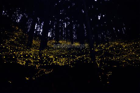 姫蛍 日本 鳥取県 南部町の写真素材 [FYI03155395]