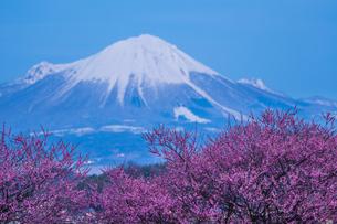 大山と梅 日本 鳥取県 米子市の写真素材 [FYI03155405]