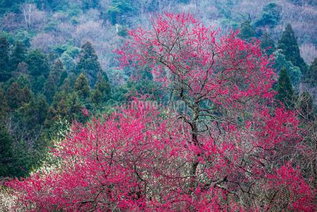 u新山の梅林 日本 鳥取県 米子市の写真素材 [FYI03155406]