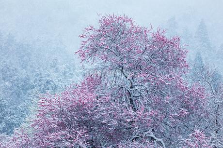 新山の紅梅 日本 鳥取県 米子市の写真素材 [FYI03155412]