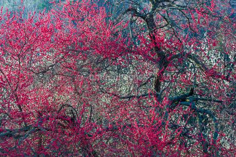 新山の紅梅 日本 鳥取県 米子市の写真素材 [FYI03155413]