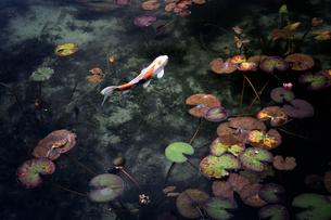 モネの池 岐阜県 関市の写真素材 [FYI03155437]