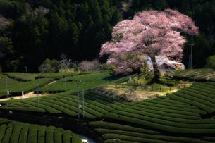 牛代の水目桜 静岡県 島田市の写真素材 [FYI03155453]