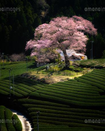 牛代の水目桜 静岡県 島田市の写真素材 [FYI03155455]