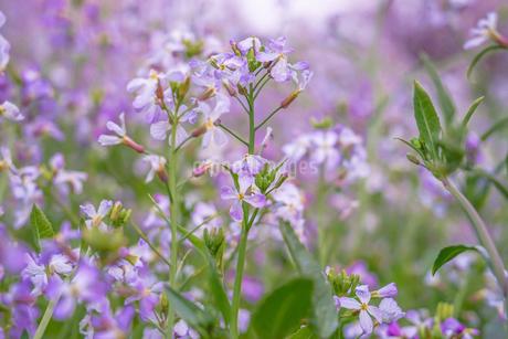 春の花畑の写真素材 [FYI03155774]