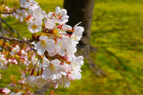 桜のイメージの写真素材 [FYI03155782]