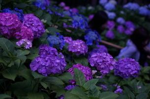 鎌倉・長谷寺の紫陽花の写真素材 [FYI03155797]