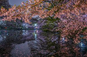 井の頭公園の夜桜の写真素材 [FYI03155798]