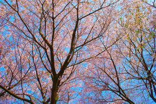 桜のイメージの写真素材 [FYI03155827]