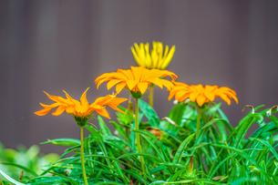 オレンジ色の花のイメージの写真素材 [FYI03155947]