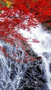 七滝の清流と真赤な紅葉の写真素材 [FYI03155993]