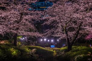 毛利庭園の夜桜(六本木)の写真素材 [FYI03155997]