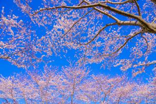 満開の桜と晴天の青空(調布飛行場)の写真素材 [FYI03156024]