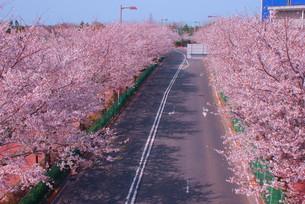 日本庭園の桜イメージの写真素材 [FYI03156075]