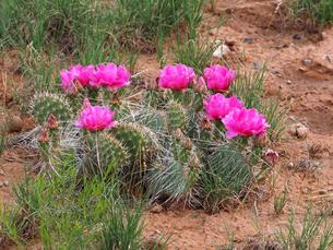 米アリゾナ州モニュメントバレー付近で見つけたサボテンとピンクの花の写真素材 [FYI03156272]