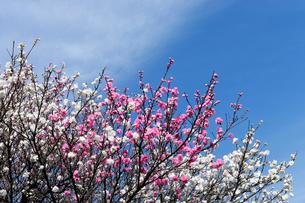二ヶ領用水の紅白の桃の花の写真素材 [FYI03156479]