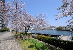 石畳の遊歩道と桜並木の写真素材 [FYI03156488]