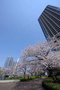 大川端リバーシティ21の桜並木と高層タワーマンションの写真素材 [FYI03156491]