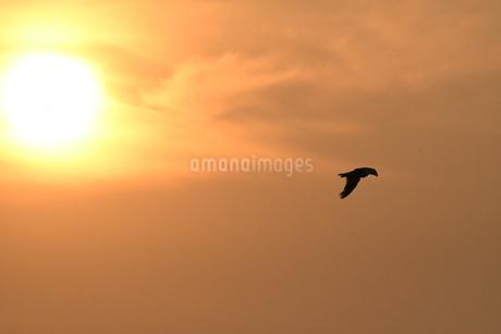 夕暮れのカモメの写真素材 [FYI03156788]