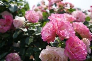 ピンクの薔薇の写真素材 [FYI03156900]