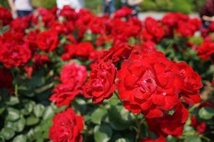 赤いバラの写真素材 [FYI03156903]