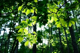 木漏れ日に晒されるミズナラの葉の写真素材 [FYI03157115]