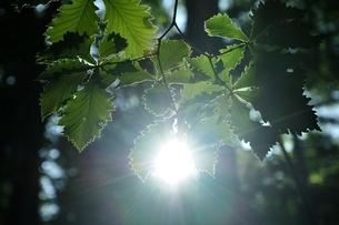 木漏れ日に晒されるミズナラの葉の写真素材 [FYI03157116]