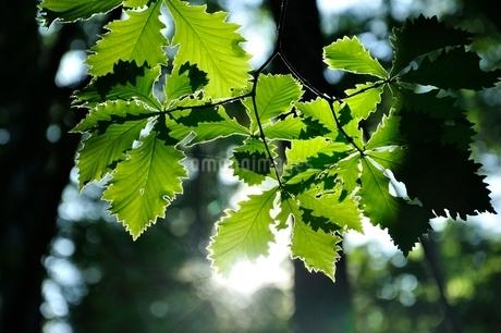 木漏れ日に晒されるミズナラの葉の写真素材 [FYI03157117]