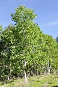 シラカバの木立ちの写真素材 [FYI03157125]