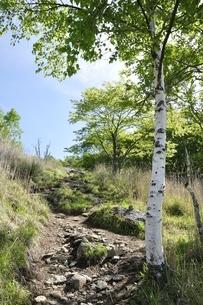 高原の白樺木立ちの写真素材 [FYI03157145]