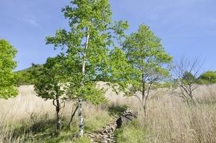 高原の白樺木立ちの写真素材 [FYI03157147]