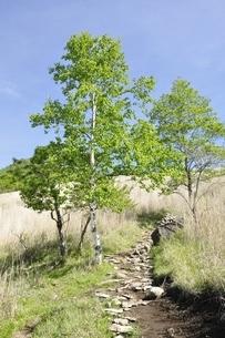 高原の白樺木立ちの写真素材 [FYI03157148]