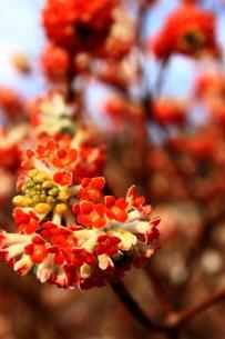 赤いみつまたの花の写真素材 [FYI03157396]