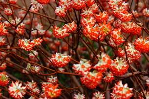 赤いみつまたの花の写真素材 [FYI03157398]