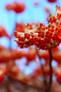 赤いみつまたの花の写真素材 [FYI03157399]
