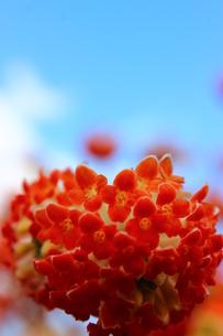 赤いみつまたの花の写真素材 [FYI03157400]