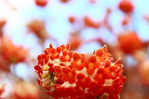 赤いみつまたの花の写真素材 [FYI03157401]